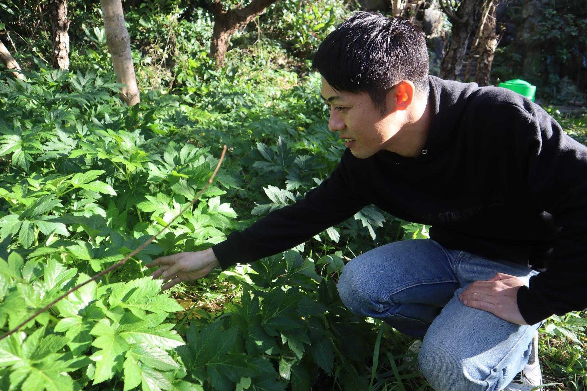 八丈島:アシタバ畑